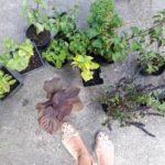 Basilikumvielfalt